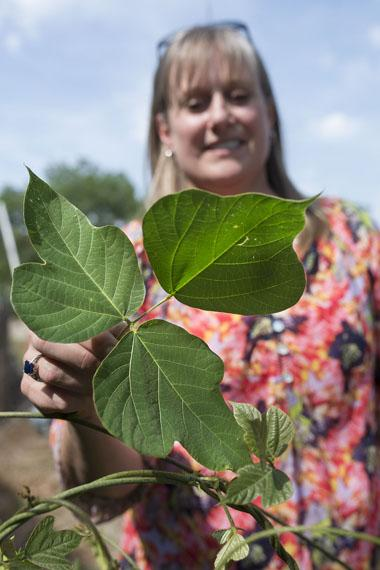 Karen Hickman, Oklahoma State University professor of natural resource ecology and management, displays what the leaflets of a healthy and growing kudzu plant look like.