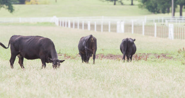 Cattle graze in eastern Oklahoma County.