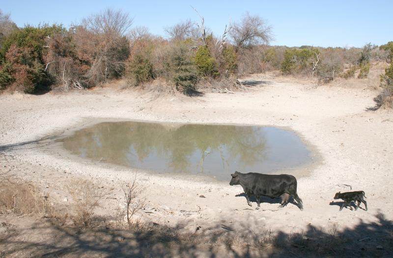 drought, cattle
