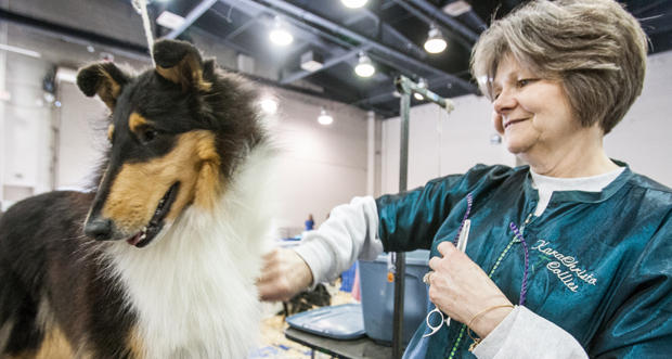Sue Wyglendowski grooms one of the 16 collies she brought from Mantua, Ohio, for the 2015 Collie Club of America National Specialty Show at the Cox Convention Center in Oklahoma City Tuesday.