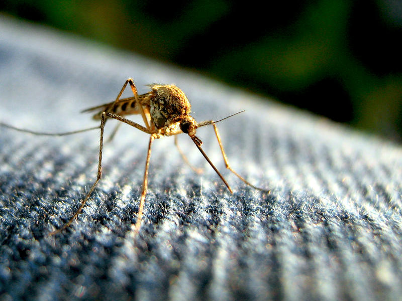mosquito on fabric
