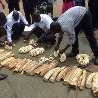 Illegally poached ivory is displayed by Ugandan authorities.