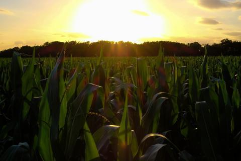 Nitrogen and phosphorous runoff from corn fields polluted many waterways in the Midwest.