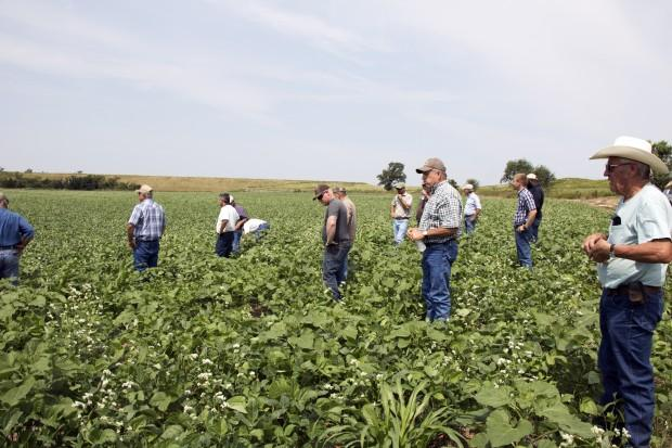 Several Oklahoma farmers wander through a field of broad-leafed cover crops during a state Conservation Commission workshop in Dewey County in western Oklahoma.