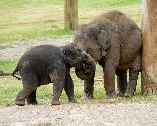 The Oklahoma City Zoo's juvenile elephants Malee (right) with her younger sister Achara.