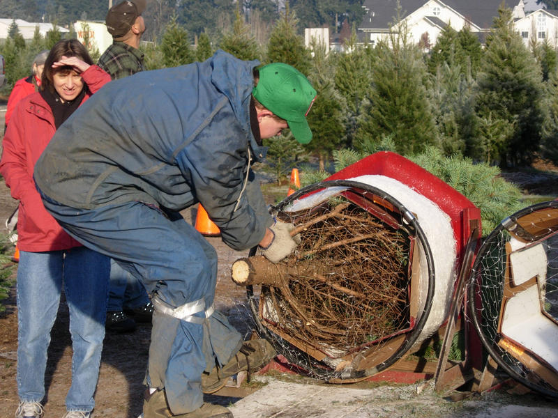 Oregon, North Carolina and Michigan are among states that produce the highest numbers of fresh-cut Christmas trees each year.