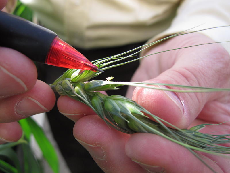 Plant breeder, Stephen Baenziger, points to anthers - the male part of a wheat floret. Removing anthers by hand using tweezers is one way researchers make hybrid wheat in the greenhouse.