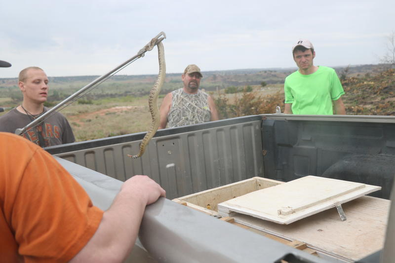 Max Geiser lowers a rattlesnake into a box while David Wilson and Ty Judd watch during a rattlesnake hunt on April 16, 2016 near Okeene, Oklahoma.