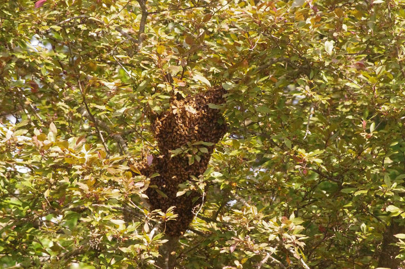 A swarm of bees looking for a new location to build a hive land in Kara Krothe's Indiana backyard.