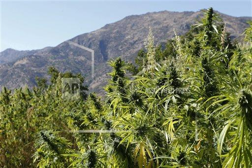 Swaths of cannabis in northern Morocco. The U.N. estimates 80,000 families in the rugged northern Rif mountains make their living from growing marijuana. Their efforst have made Morocco the main hashish supplier for Europe and the world.
