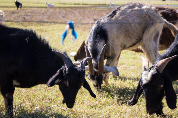 Goats on a farm near Covington, Okla.