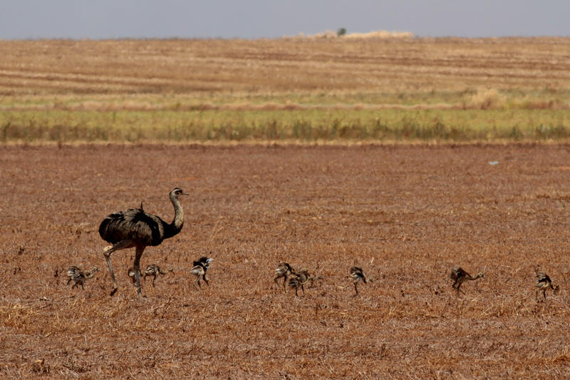 Ostriches are seen at a farm in the Cerrado ecosystem, outskirts of Brasilia, Brazil, Tuesday, Sept. 13, 2011.