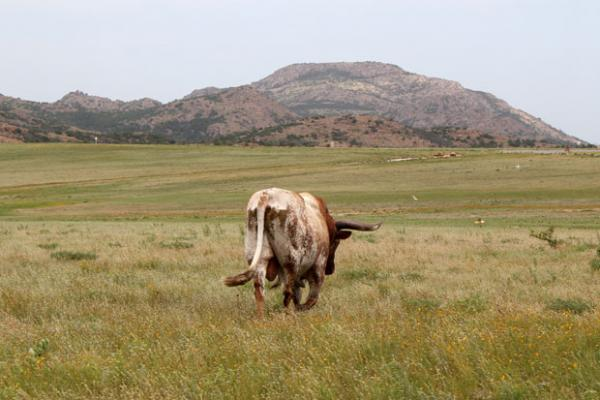A bull ambles through the Wichita Mountains Wildlife Refuge in western Oklahoma.
