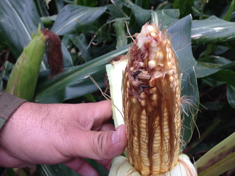 Dupont-Pioneer genetically engineered corn.