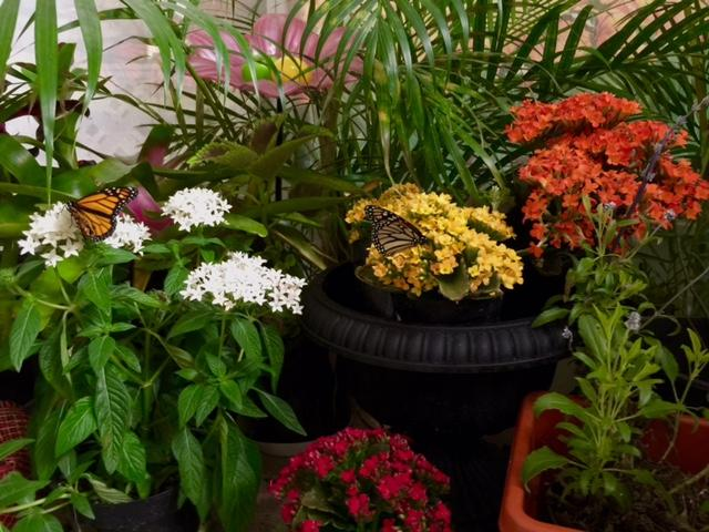 The White Flowers Are Penta, The Other Colorful Flowers Are Kalanchoe, All  Suitable Nectar Plants For A Butterfly Garden.