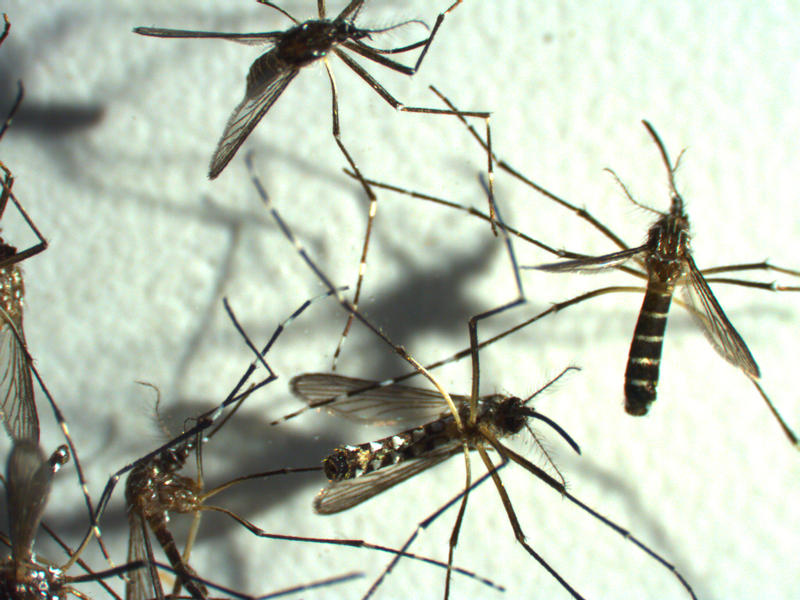 Female Aegypti Mosquito, carriers of Dengue Fever