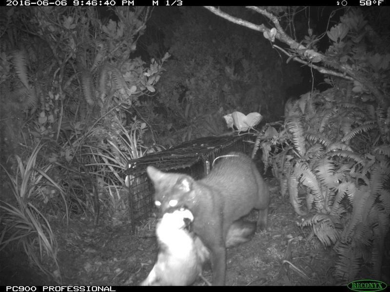 Kauai Endangered Seabird Recovery Project