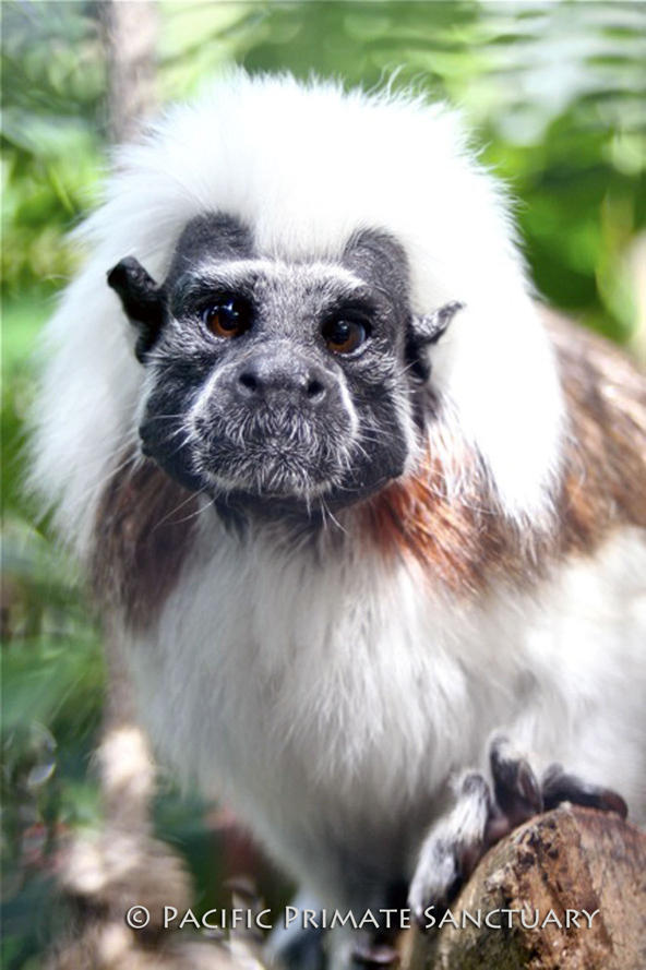 Adam, an endagered Cotton Top Tamarin.