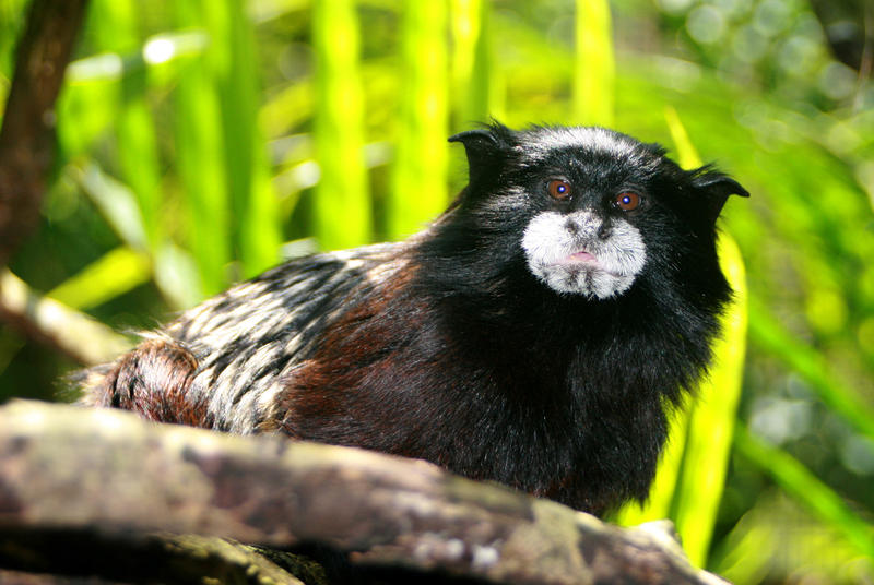 Galatea, a Saddleback Tamarin, was rescued from a laboratory.
