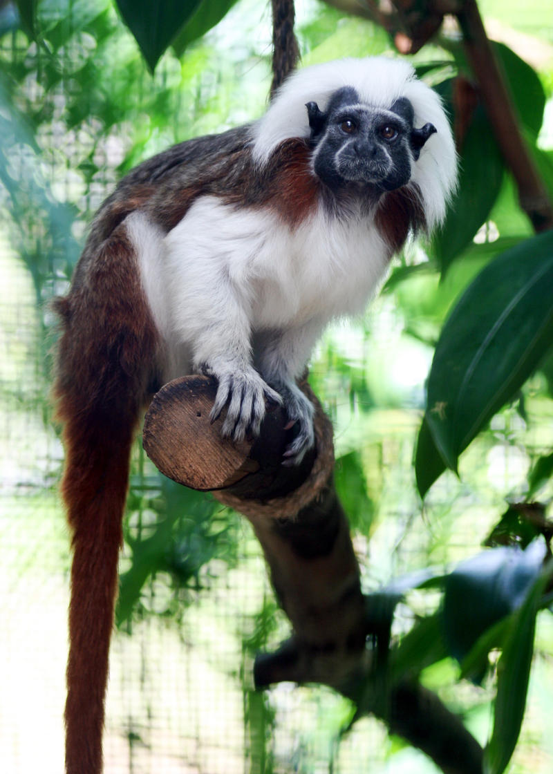 Xylophone, an endagered Cotton Top Tamarin.