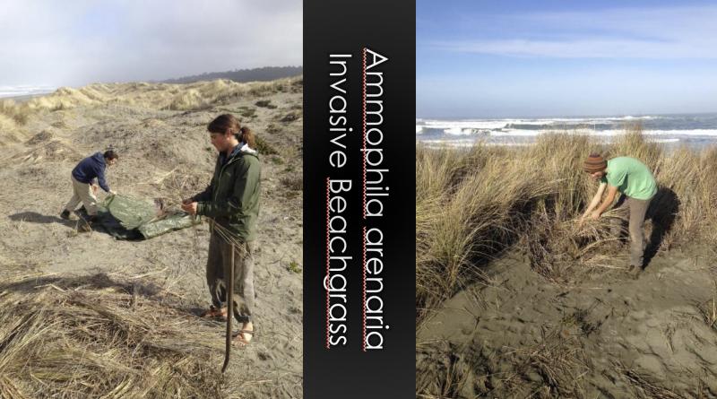 Invasive beachgrass chokes out native flora