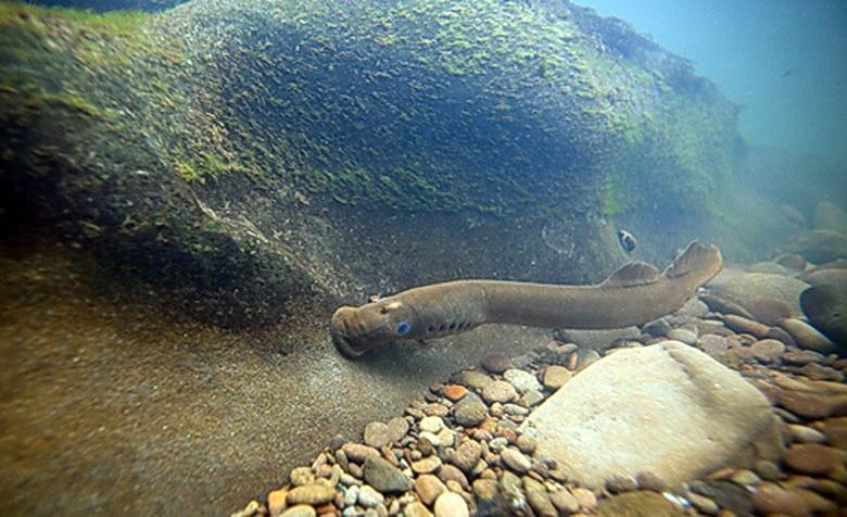 Food For Thought Traditional Lamprey Eel Harvest Khsu