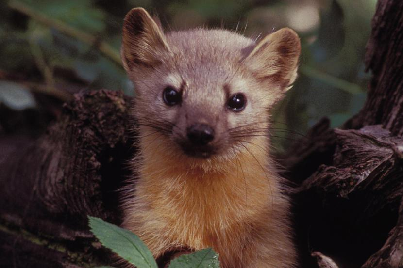 What does a weasel look like 8