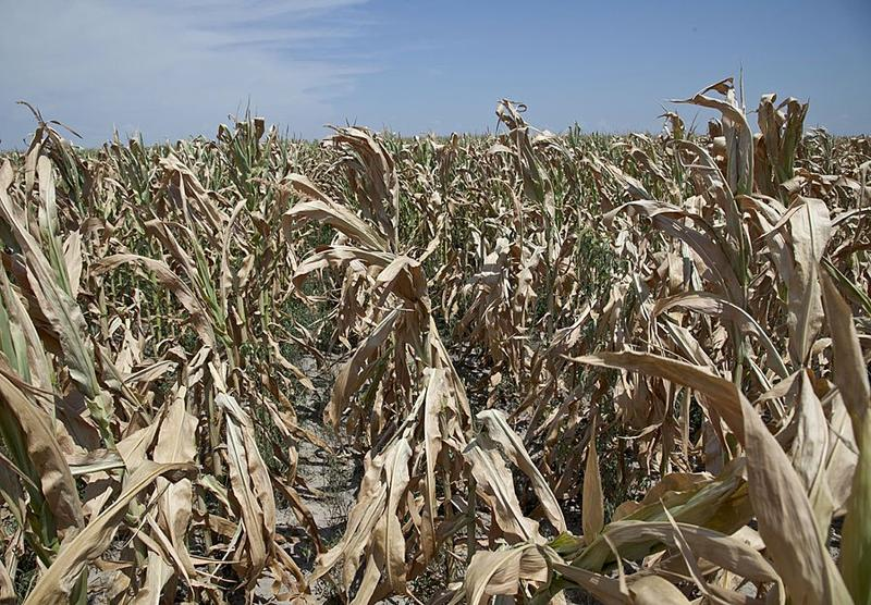 Drought has affected crops statewide, including this field near Grand Island.