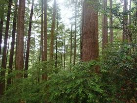 Old growth trees in Oregon's coastal forest.