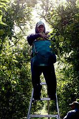 A farmworker collects apples.