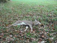 The fallen buck in South Eugene.