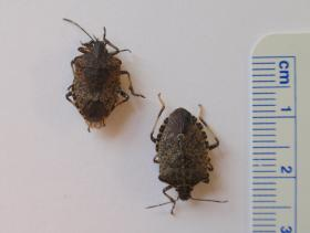 The brown marmorated stink bug is 1-2 centimeters in length