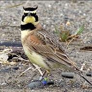 The streaked horned lark.