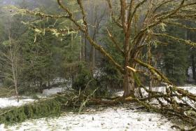Many trees at Mt Pisgah Arboretum were affected by the ice storm earlier this month.