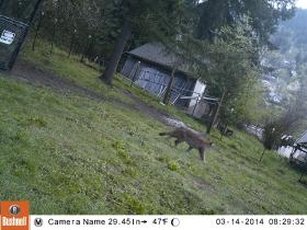 This photo taken with a trail camera Friday shows a cougar that's believed to still be in or around Hendrick's Park