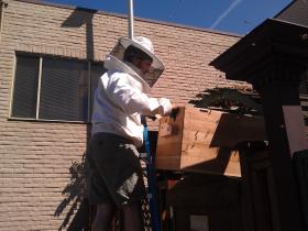 Brent Hefley scoops bees into a box, hoping to lure them away from the trellis.