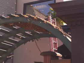 Honeybees swarm the trellised gate behind the Starlight Lounge next door to KLCC.