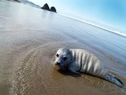 An Oregon Seal Pup