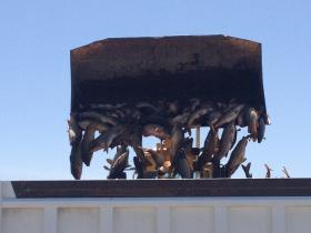 It took a backhoe to dump some of the carp removed from Malheur Lake during a recent fishing operation.