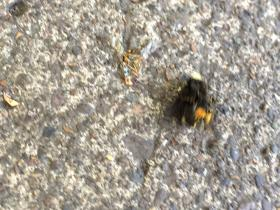 One of hundreds of bees that died at an apartment complex in Eugene Tuesday. The ODA found out about the die-off from a report on KVAL