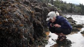 Drew Harvell, a marine epidemiologist, surveys the intertidal zone of Eastsound on Orcas Island, looking for signs of sea star wasting syndrome.