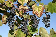 Sunbelt Grapes