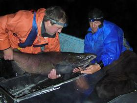Matt Strickland (left) and Bob Lee, members of an ODFW survey crew, capture and mark a large Chinook salmon as part of a population study on the Oregon coast.