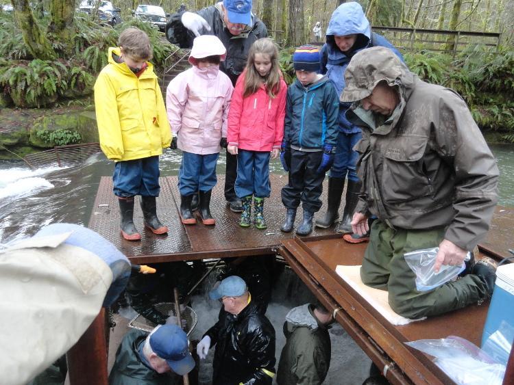 Students peer down into the Whiteaker Creek fish trap as volunteers net steelhead.