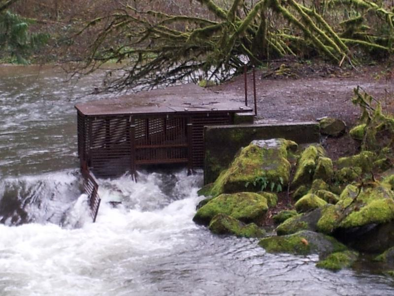 Whiteaker Creek fish trap is operated by Florence STEP.