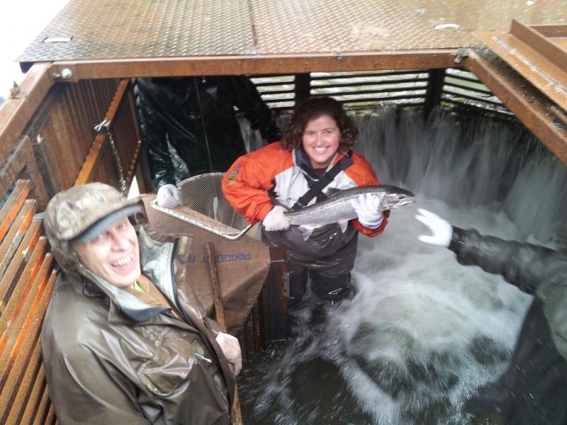KLCC's Jes Burns holds a hatchery steelhead inside the Whiteaker Creek fish trap..