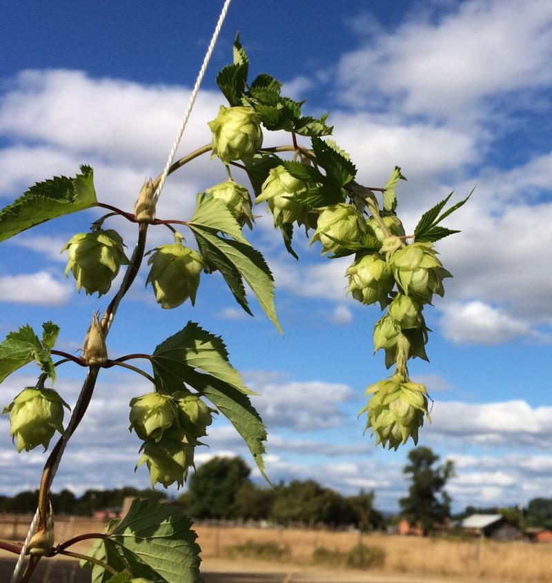 Some brewers say access to staples such as hops have improved since being acquired. Hop Valley tells KLCC it's just finalized hops contracts for 2023.