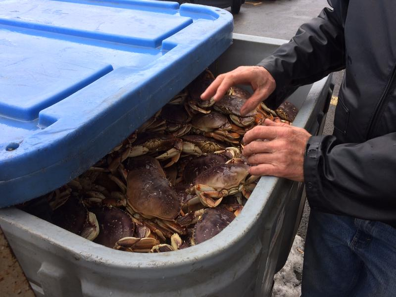 Roughly 400 crabs in this large tote from Newport, OR.