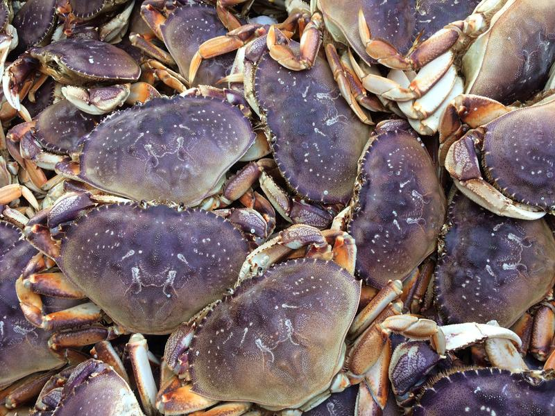 Dungeness crabs waiting for the end. They are a purplish color in their natural state.