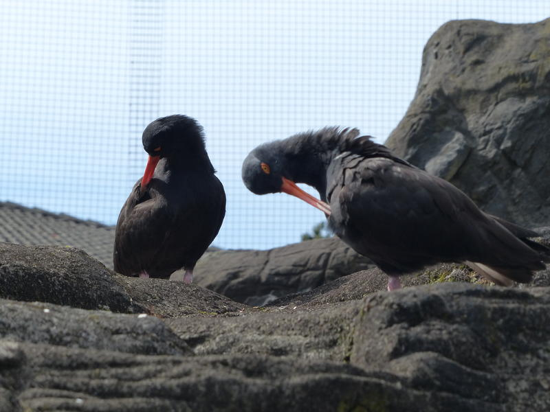 Pair of Black Oyster Catchers have mated for over 20 years.